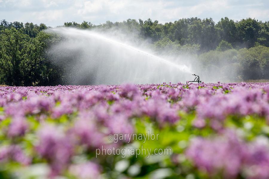 Irrigating Maris Peer potatoes with a rain gun - Norfolk, July