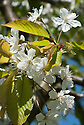 Blossom of Cherry 'Mansfield Black', early May.