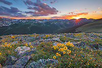 "High in Rocky Mountain National Park, these sunflowers, commonly called ""Old Man of the Mountain,"" bask in the last light of a July evening. It gets cold up here, but these hearty flowers thrive and add color to the tundra at 12,000 feet."