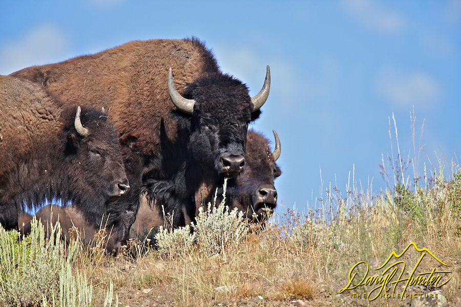 Three Bison, ridge line, Grand Teton National Park