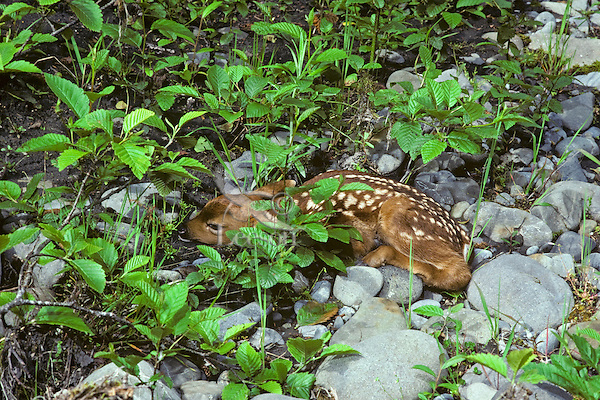 Young Black-tailed Deer fawn hiding among alder tree saplings that are growing up in old river bed.  Olympic National Park, WA.