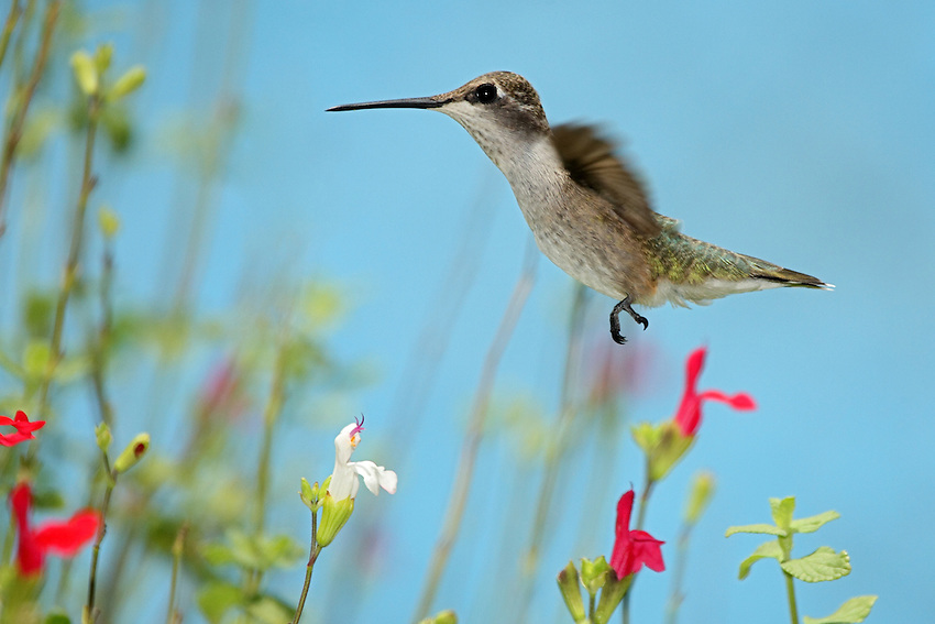 Black-chinned Hummingbird female (Archilochus alexandri) and Hot Lips Sage flowers. Published for the San Francisco Botanical Gardens.