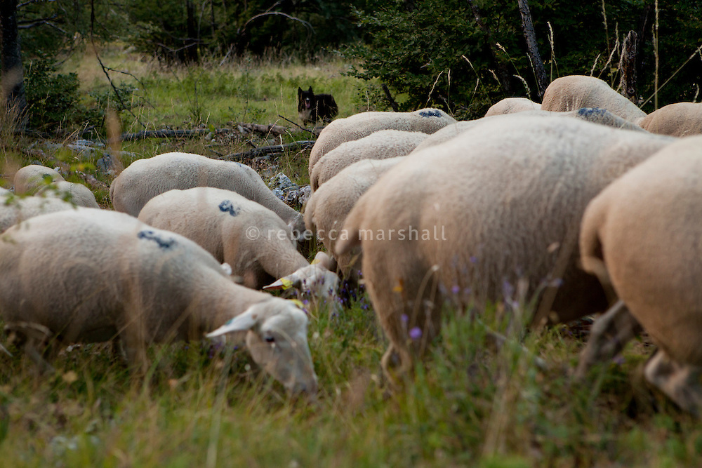 Isabelle Feynerol's sheepdog watches over her flock on the slopes of La Montagne du Thiey above the hamlet of Canaux in the Alpes Maritimes above Grasse, France, 02 August 2013. Isabelle doesn't want to have 'Patous' [Great Pyrenees sheepdog] dogs to guard her flock; she finds them too difficult to control and potentially dangerous for hikers.