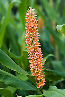 Hedychium densiflorum 'Assam Orange'