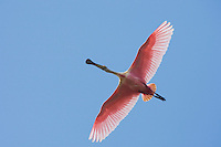 Roseate Spoonbill (Ajaia ajaja), adult in flight, Sinton, Corpus Christi, Coastal Bend, Texas, USA