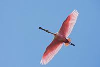 Roseate Spoonbill (Ajaia ajaja), adult in flight, Sinton, Corpus Christi, Coastal Bend, Texas, USA