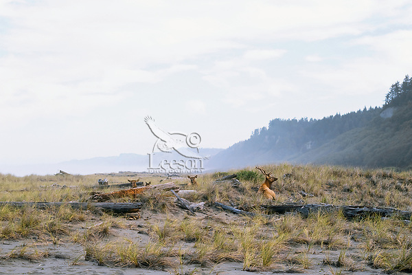 Roosevelt Elk bull with small group of cows (harem) resting along Gold Bluffs Beach, Prairie Creek Redwoods State Park, Northern California.  Sept.
