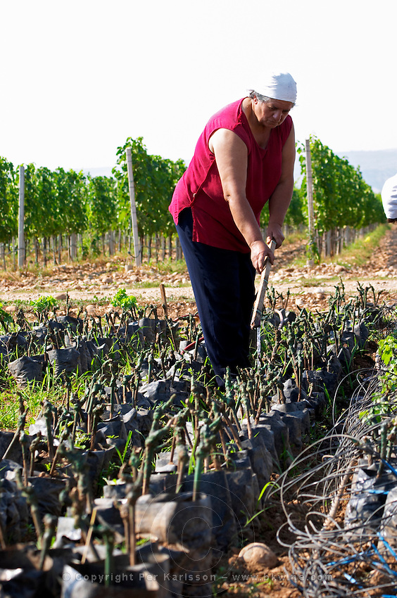 The winery's own vine nursery. Women watering and tending to the young plants. Thousands of vines. Hercegovina Vino, Mostar. Federation Bosne i Hercegovine. Bosnia Herzegovina, Europe.
