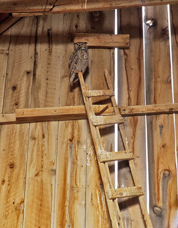 Great Horned Owl at top of latter in barn. Summer Lake State Wildlife Refuge, Oregon.