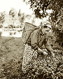 INDIA, West Bengal, female worker picking tea leaves, Ambooti Tea Gardens, Kurseong (B&W)