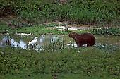 Pantanal, Mato Grosso State, Brazil; capivara (Hydrochoerus hydrochoeris) capybara and a white water bird.