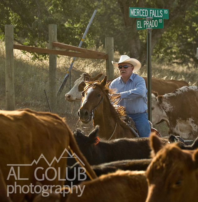 Merced Falls Road near La Grange, California on May 09, 2008 .Cattle drive from  stone coral on Merced Falls road to Huglow Ranch on Penon Blanco road.  Erickson Cattle Company ..Photo by Al GOLUB/Golub Photography