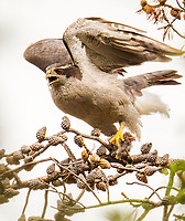 Northern Goshawks are found of large bodied birds like young Great Great, Great Horned, Spotted, Barred, Northern Hawk and several other owl species.