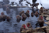 Japanese macaques, a.k.a. Snow Monkeys relax in a hot spring at Jigokudani(Hell Valley) in Nagano Prefecture, Japan. Japanese snow monkeys live in extreme conditions where winter temperatures can drop to -20 c, and they are unique in taking hot bath, known as an Onsen..28 Jan 2011
