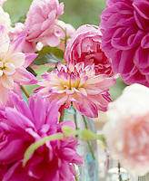 Detail of pink Dahlia and peony heads