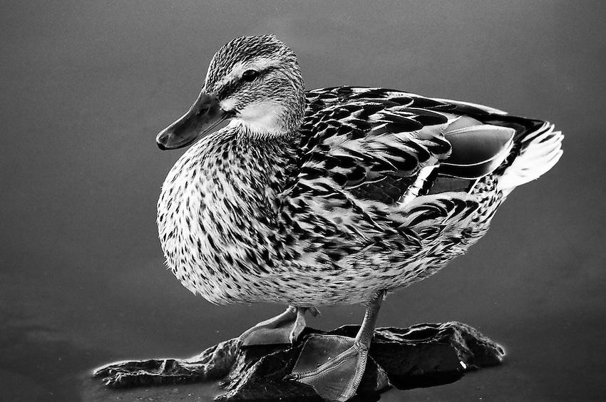 Duck,  San Joaquin Wildlife Sanctuary, Irvine, CA                    35mm image on Ilford Delta film