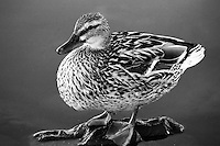 Duck,  San Joaquin Wildlife Sanctuary, Irvine, CA                    35mm image on Ilford Delta film
