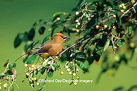 01415-021.19 Cedar Waxwing (Bombycilla cedrorum) in Shadblow Serviceberry bush (Amelanchier canadensis) Marion Co. IL