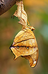 Cruiser Butterfly, Vindula dejone, hanging on pupae, just hatched, drying wings, female, chrysalis, soft background.Malaysia....