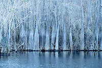 """Dead Lakes - Near Marianne, Florida.<br /> <br /> Awarded """"Judges Recognition"""" for the Broward Art Guilds Jan 2013 Winter exhibition"""