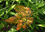 A leaf seen in the Esopus Bend Nature Preserve, in Saugerties, NY, on Friday, September 1, 2017. Photo by Jim Peppler. Copyright/Jim Peppler-2017.