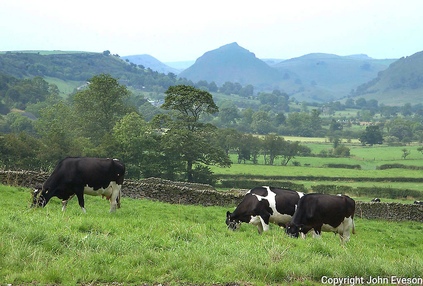 View of a dairy farm, Derbyshire. Dairy cows.