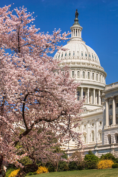 United States Capitol Building Cherry Blossoms Washington DC Photography Cherry Blossoms Washington DC. Cherry Blossoms blooming around the Tidal Basin, National Mall , and US Capitol in Washington DC symbolize the natural beauty of our Nation's Capital City and has become part of Washington DC's rite of Spring.  Landmarks include the Jefferson Memorial, Washington Monument, and US Capitol.  A popular tourist attraction and travel destination for many visiting Washington DC. Cherry Blossoms Washington Monument Tidal Basin Washington DC Cherry Blossoms Tidal Basin Washington DC<br /> Cherry Blossoms blooming around the Tidal Basin in Washington, DC symbolize the natural beauty of our nation's capital city and has become part of Washington, D.C.'s rite of spring. Landmarks include the Jefferson Memorial, Washington Monument, and US Capitol. A popular tourist attraction and travel destination for many visiting Washington, D.C.