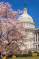 United States Capitol Building Cherry Blossoms Washington DC Photography Cherry Blossoms Washington DC. Cherry Blossoms blooming around the Tidal Basin, National Mall , and US Capitol in Washington DC symbolize the natural beauty of our Nation's Capital City and has become part of Washington DC's rite of Spring.  Landmarks include the Jefferson Memorial, Washington Monument, and US Capitol.  A popular tourist attraction and travel destination for many visiting Washington DC. Cherry Blossoms Washington Monument Tidal Basin Washington DC Cherry Blossoms Tidal Basin Washington DC<br />