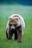 The Kodiak bear (Ursus arctos middendorffi), also known as the Kodiak brown bear or the Alaskan grizzly bear or American brown bear, occupies the coastal areas and islands of the Kodiak Archipelago in South-Western Alaska. It is the largest subspecies of brown bear.  This young cub just followed whereever mom wanted to go.<br />