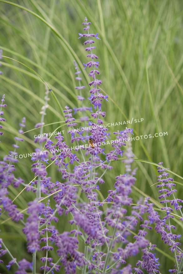 A lone honeybee crawls on a blooming stalk of purple lavender in this shallow-focus detail shot that includes a soft background of long blades of ornamental grasses.