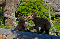 "Wild Black Bear (Ursus americanus) cubs playing.  Western U.S., spring. (These are what are known as ""coys""--cubs of the year.)"
