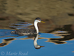 Western Grebe (Aechmophorus occidentalis), breeding plumage, swimming, with reflection, Bolsa Chica Ecological Reserve; California; USA