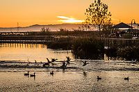 Ducks fly wildly to the shore where visitors have, against the rules and advisories, scattered food.