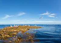 giant kelp, Macrocystis pyrifera, drifting kelp or kelp paddy, with seagulls, Santa Barbrara Island, Channel Islands National Park, Channel Islands National Marine Sanctuary, California, USA, Pacific Ocean