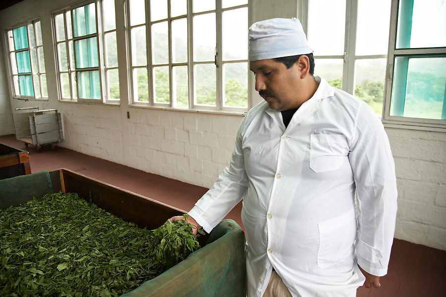 Organic specialty tea production in Chimate, a small community in the fertile Yungas region of Bolivia.
