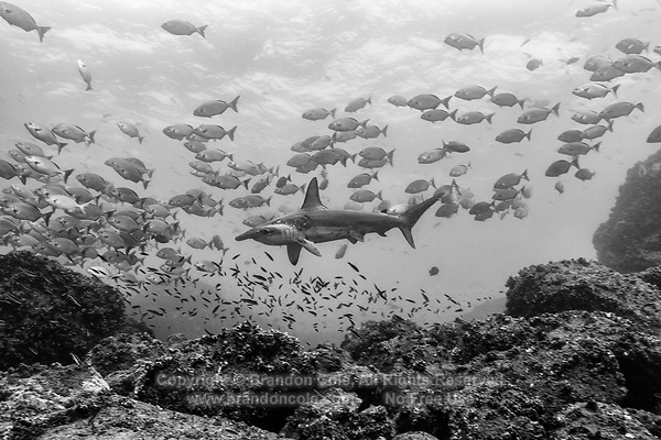WD0797-Dbw2. Scalloped Hammerhead Shark (Sphyrna lewini), lord of the Galapagos marine kingdom, here swimming through a school of chubs (Kyphosus sp.) over a rocky reef. Galapagos Islands, Ecuador, Pacific Ocean. Color photo converted to black and white.<br /> Photo Copyright &copy; Brandon Cole. All rights reserved worldwide.  www.brandoncole.com