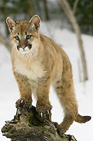 Puma kitten standing watch from the top of an old tree stump - CA