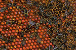 Honey Bee, Apis mellifera, inside hive, workers tending pollen cells, showing different colours of pollen, social, network.United Kingdom....