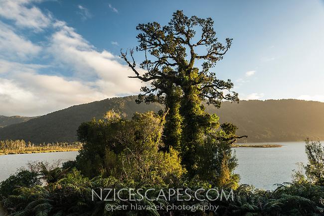 Native rimu tree at Lake Moeraki, West Coast, South Westland, UNESCO World Heritage Area, New Zealand, NZ