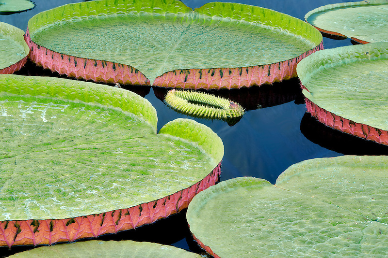 Leaves of Amazon Lilies. Hughes Water Gardens. Oregon