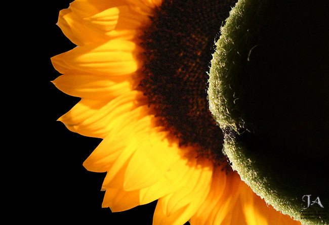 Sunflower Eclipse by Tennis Ball