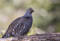 A Dusky grouse found during a walk in the woods.