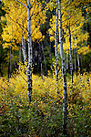 October 2009:  Colorful aspen trees along a trail in the Maroon Bells Wilderness, Aspen, CO.