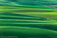 Elevated view of undulating wheat crop, Palouse region of eastern Washington.