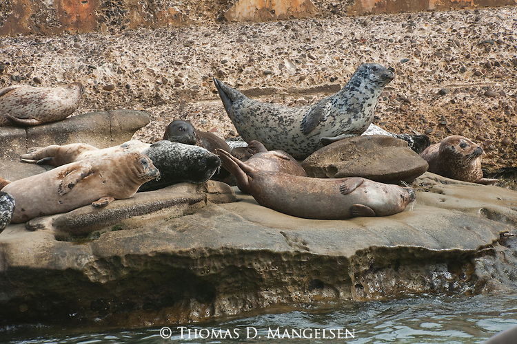 Harbor seals lay on rocks on the children's pool beach in La Jolla, California.