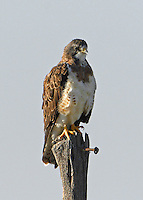 Adult Swainson's hawk, light morph