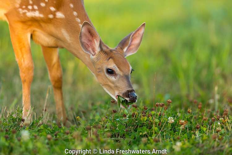 White-tailed fawn feeding in a food plot in northern Wisconsin.