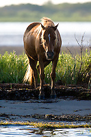 Wild horse at Assateague Island, Maryland.