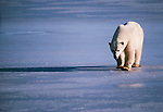 Polar bear, North America