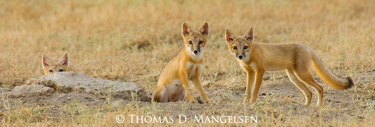 Swift foxes watch the golden prairie with curious eyes in Buffalo Gap National Grasslands, South Dakota.